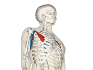 """Pectoralis minor muscle and shoulder blade"""